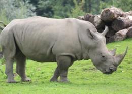 体型庞大的犀牛图片_15张