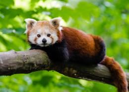 野生的小熊猫图片_15张