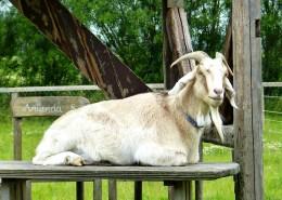 温顺的山羊图片_15张