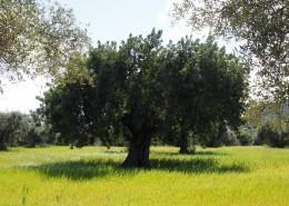 茁壮的橄榄树图片_14张