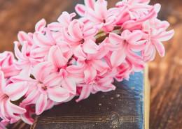 粉红色的风信子图片_9张