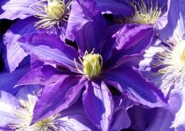 紫色的铁线莲图片_12张
