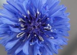 蓝色的矢车菊图片_12张