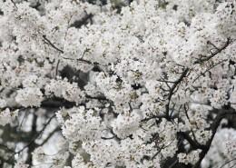 洁白似雪的樱花图片_14张