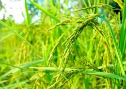 绿油油的水稻图片_11张