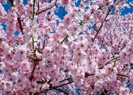 绽放的粉色樱花图片_14张