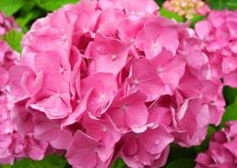 粉红色的绣球花图片_12张