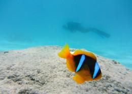 海洋中的小丑鱼图片_14张
