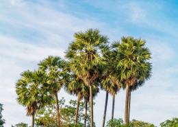 热带椰树图片_12张