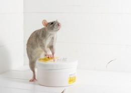 小巧可爱的老鼠图片_9张