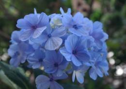 蓝色的绣球花图片_13张