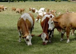 草地上的奶牛图片_16张