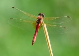 轻盈停落的蜻蜓图片_13张