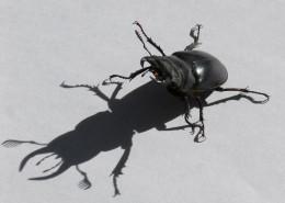 强壮的雄鹿甲虫图片_13张
