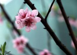 粉色的桃花图片_16张