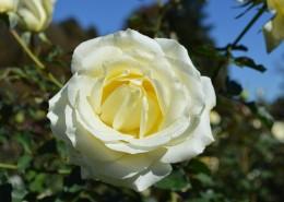 清纯淡雅的白玫瑰图片_15张