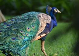 一只色彩艳丽的孔雀图片_16张