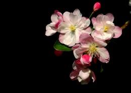 高雅的海棠花图片_22张