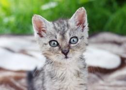 可爱灰色小猫图片_11张