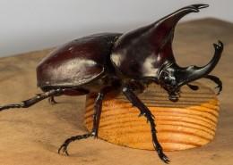 力量惊人的犀牛甲虫图片_10张
