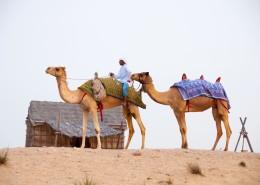 沙漠中的骆驼图片_14张