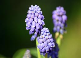 紫蓝色的葡萄风信子图片_9张