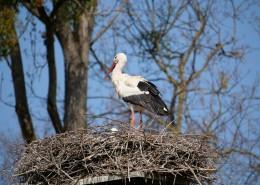 鸟巢上的白鹭图片_15张