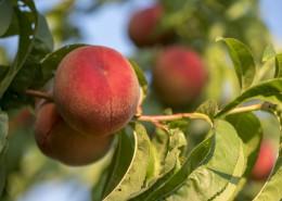 树枝上的桃子图片_16张