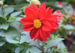 盛开的红色大丽花图片_12张