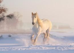俊美的白马图片_16张