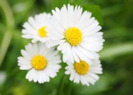 盛开的雏菊图片_12张