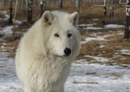 白色的野狼图片_10张