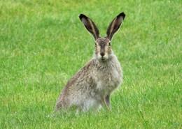 竖起双耳的兔子图片_13张