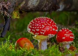 红色毒蝇伞毒蘑菇图片_12张