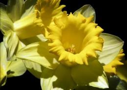 黄色的木槿花图片_15张