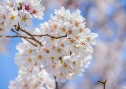 唯美好看灿烂的樱花图片_12张