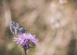 采花蜜的蝴蝶图片_10张