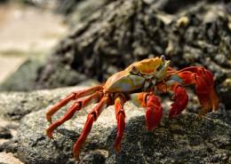 海边的螃蟹图片_11张