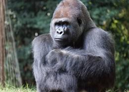 强壮的大猩猩图片_10张
