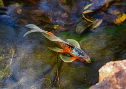 水里的金鱼图片_11张