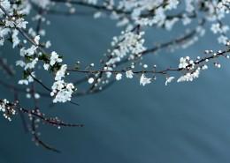 美丽的白色梅花图片_12张