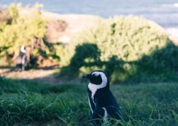 可爱呆萌的企鹅图片_11张