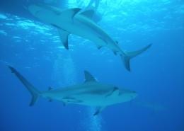 海洋中的鲨鱼图片_10张