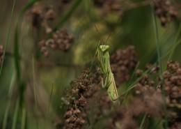 浑身绿色的螳螂图片_10张