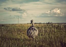非洲的野生鸵鸟图片_10张