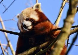 呆萌的小熊猫图片_11张
