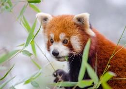 活泼可爱的小熊猫图片_15张