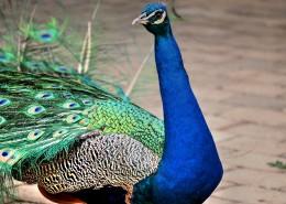 一只色彩艳丽的孔雀图片_13张
