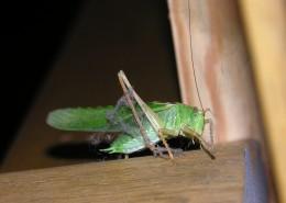 一只绿色的蚱蜢图片_10张