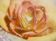 浪漫黄玫瑰清新雨后美景图片